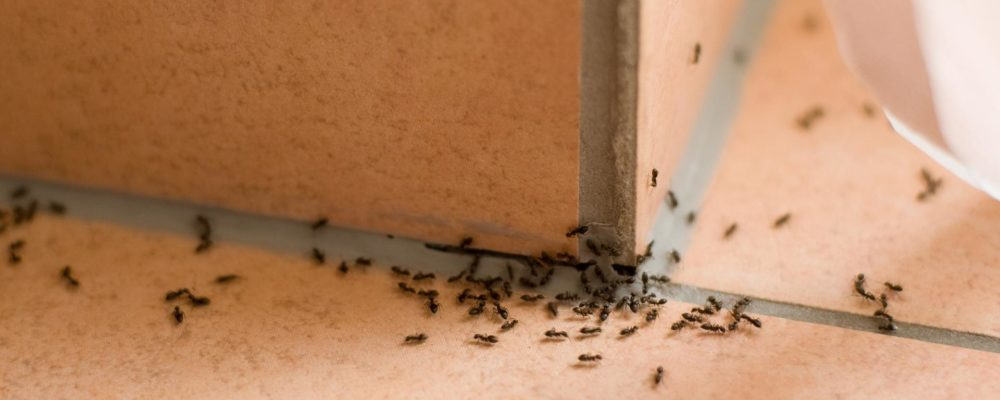 How to Get Rid of Ants in Your House and Yard?